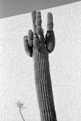 USA. ARIZONA. Phoenix. A garden Saguaro Cactus with shadow. 1997.