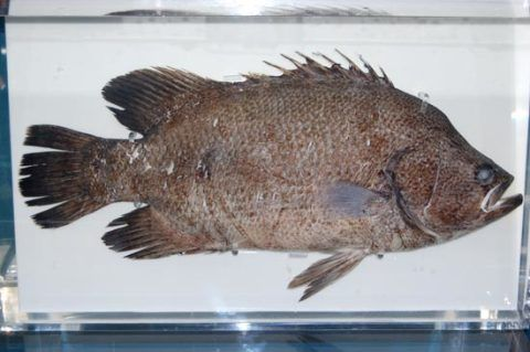 Atlantic Tripletail (Lobotes surinamensis) caught near Peterstone, east of Cardiff.