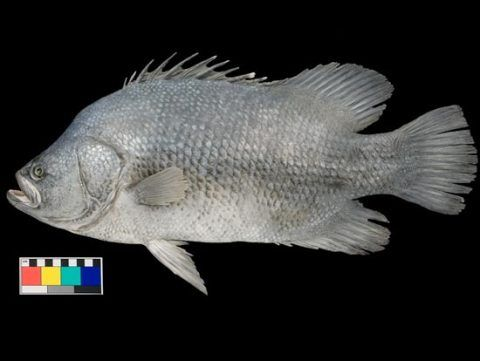 The finished model of Atlantic Tripletail.