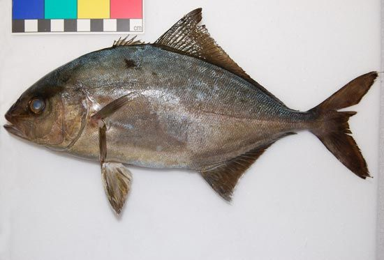 Juvenile specimen of an Almaco Jack (<em>Seriola rivoliana</em>) caught at Milford Haven.