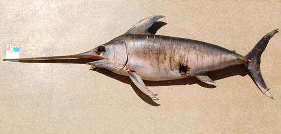 The Swordfish (<em>Xiphias gladius</em>) found dead on Barry beach.
