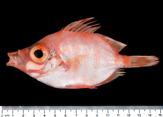 Boarfish (<em>Capros aper</em>) found off the coast of Wales.