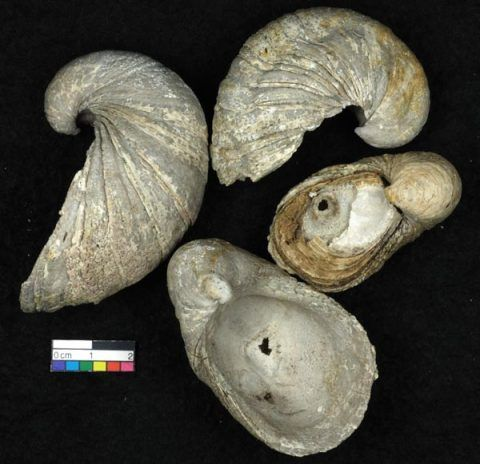 Fossil shells (<em>Gryphaea arcuata</em> – Devil's toenails) after the rock has been dissolved in acid.