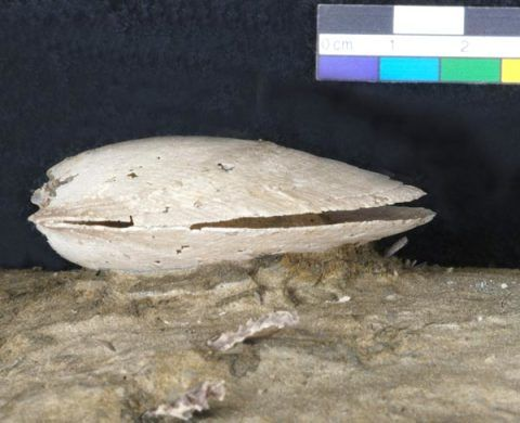 A fossil bivalve shell that has been partially prepared using acid