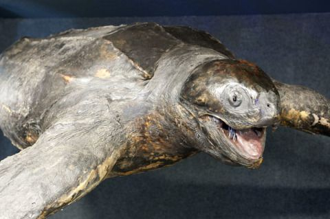 Leatherback Turtle, National Museum Cardiff