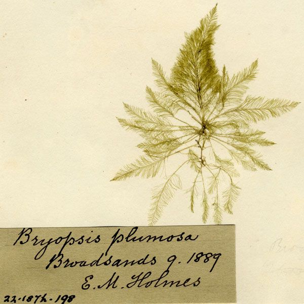 Evenly Branched Mossy Feather Weed