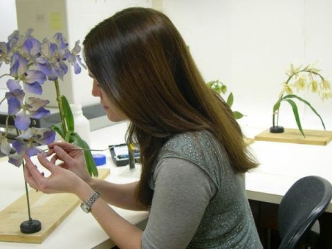 Annette Townsend conserving the wax orchid models