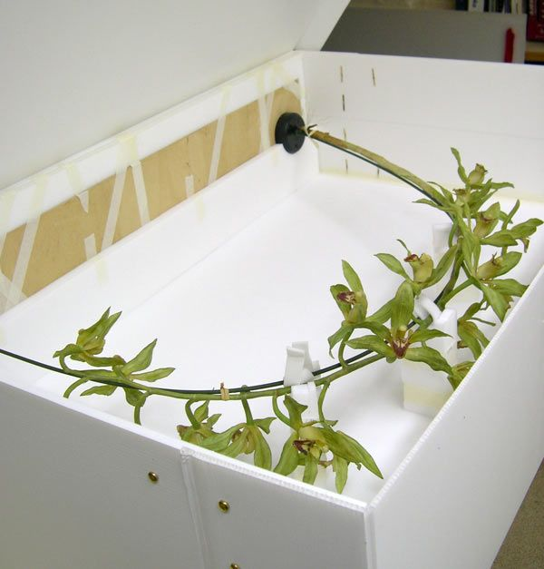 <em>Cymbidium lowianum</em> (Rchb. f.) Rchb. f.  Model packaged in a custom made box