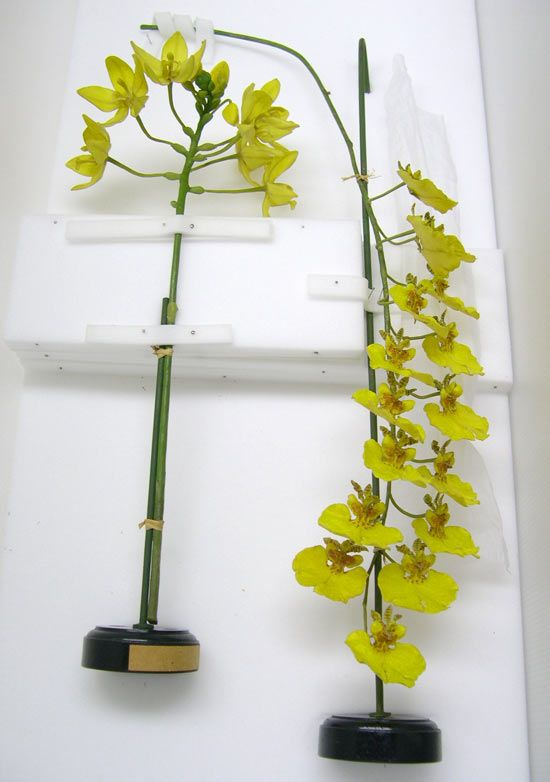 <em>Spathglotis lobbi</em> Rchb.f. in W.G.Walpers & <em>Oncidium varicosum</em> Lindl. Models in archival packaging