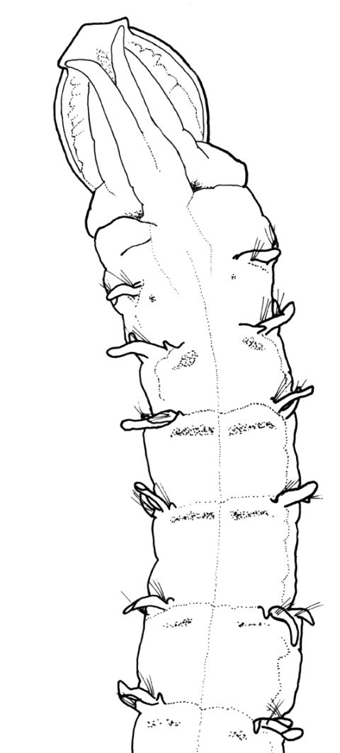 The head-end of <em>Magelona lusitanica</em>  Mortimer, Gil & Fiege, 2011 from Portuguese waters