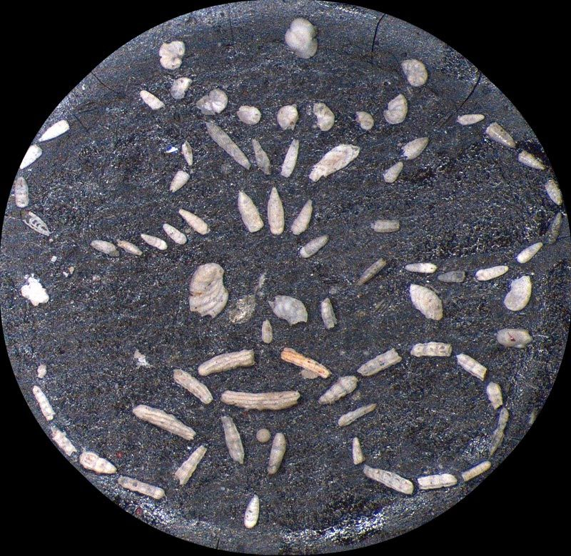Heath Microfossil Collection: 80.36G.2