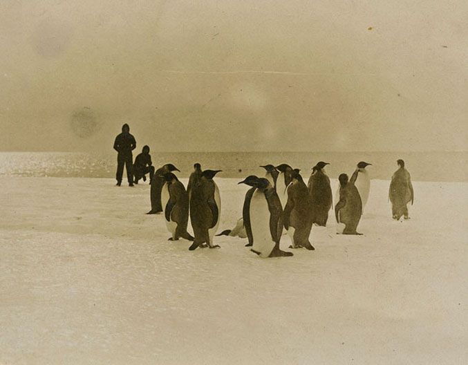 Emperor Penguins photographed by Frederick Gillies in Queen Mary's Land, Antarctica in 1912