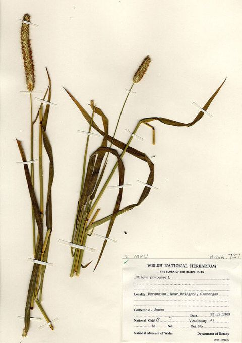 Timothy Grass Specimen from Welsh National Herbarium