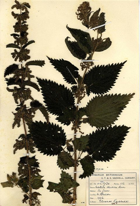 Nettle Specimen from Welsh National Herbarium
