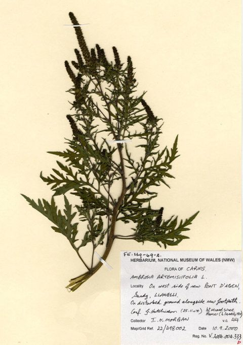 Ragweed Specimen from Welsh National Herbarium