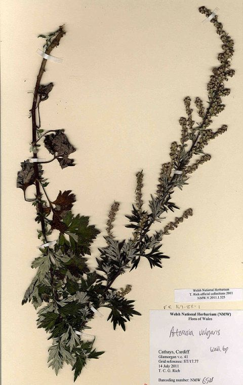 Mugwort Specimen from Welsh National Herbarium