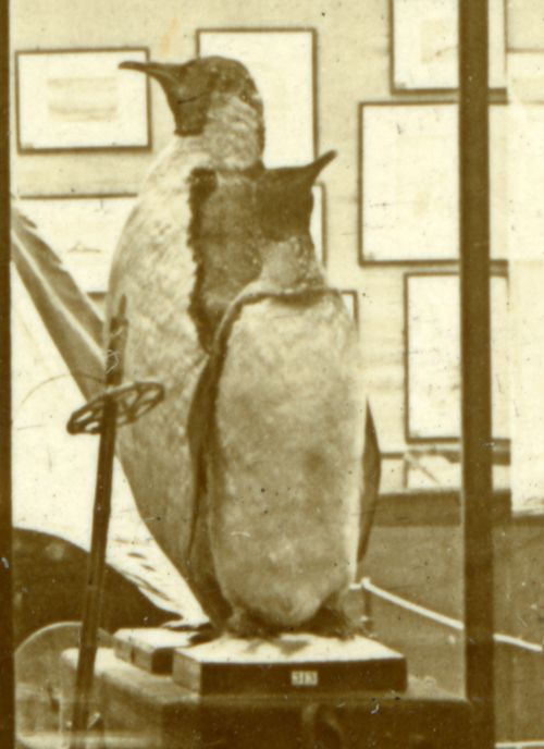 One of the Emperor Penguins and the Shackleton King Penguin can be seen in this 1914 Antarctic exhibition held by the Museum in the City Hall, Cardiff.