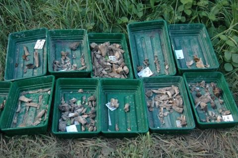 Ten seed trays contain varying amounts of cleaned animal bone. A white waterproof label attached to each tray describes exactly where the bone was found