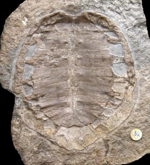 The fossil turtle at National Museum Cardiff, its significance previously unknown