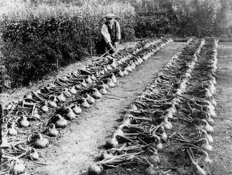 Thomas Danial, the gardener at Glanolmarch, Llechryd, with a crop of onions.