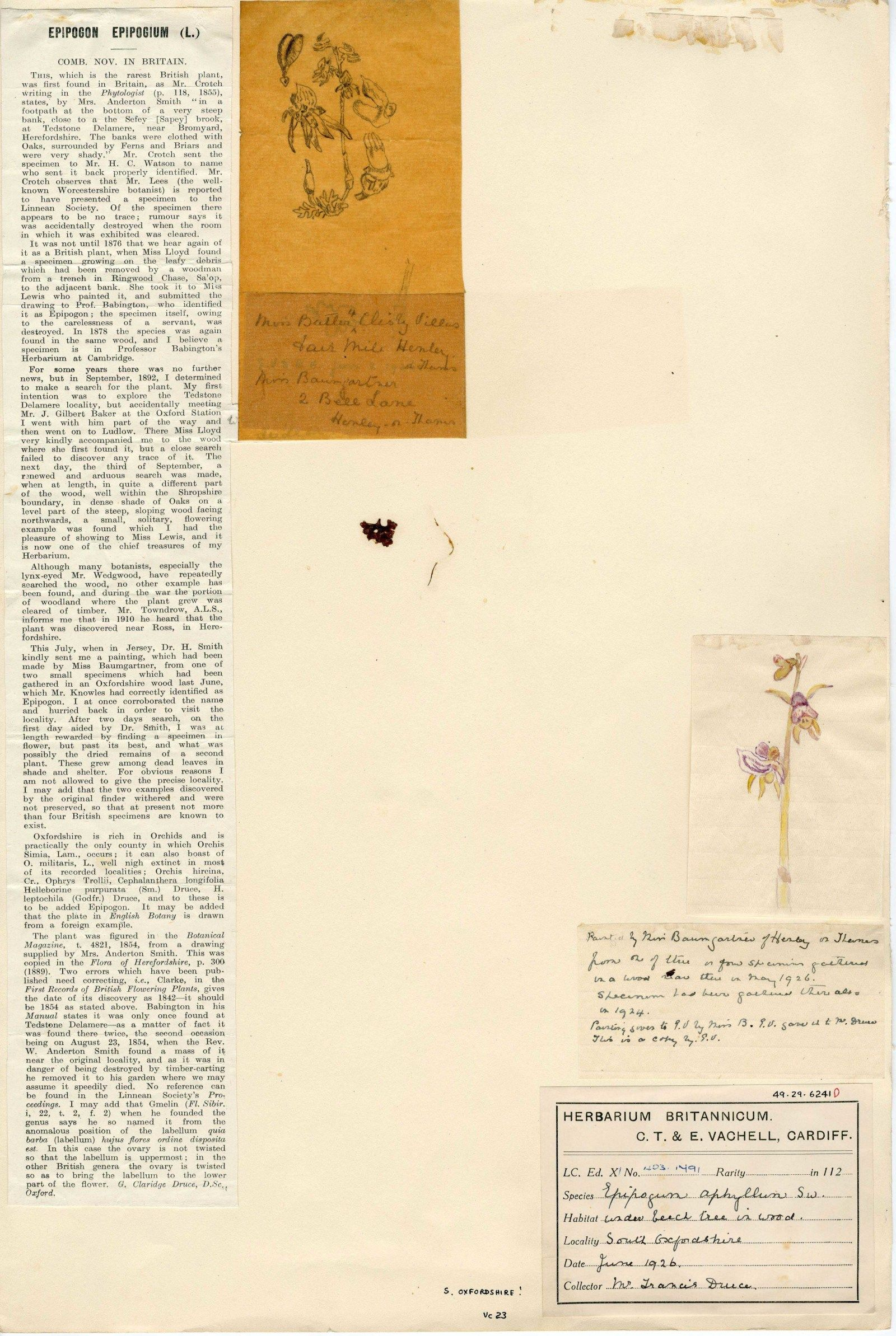 The scrap of Ghost Orchid rootlet in Eleanor Vachell's herbarium.  Also attached to the specimen are Dr George Claridge Druce's  (1924) account of it from <em>Gardeners Chronicle</em> series 3 volume 76, page 114 and two small sketches by Miss Baumgartner
