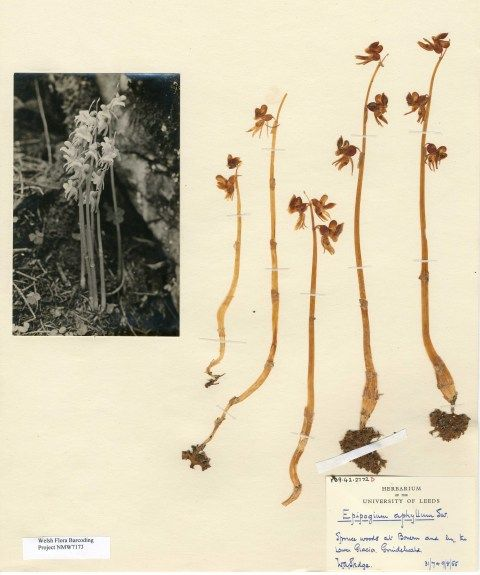 Swiss Ghost Orchids collected by W. A. Sledge in 1955.