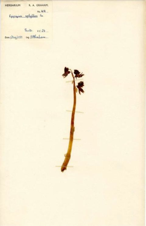 A 1953 Ghost Orchid collected by Rex Graham