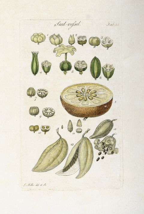 Plate from Botanical Tables