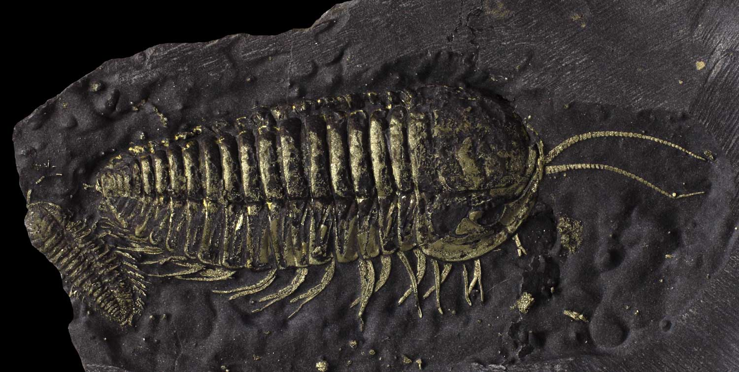 The Museum's golden fossil from Martin Quarry, New York State. Larger trilobite approx. 3 cm long