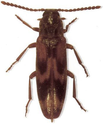Hypulus quercinus (Quensel), a rare saproxylic beetle collected at Dinefwr Deer Park