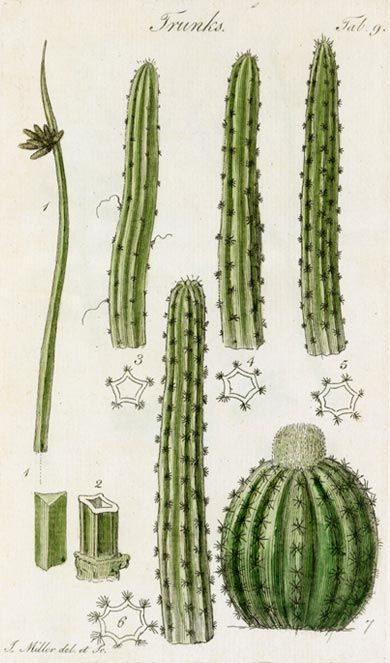 Illustrating a range of different types of fleshy stem found in plants, particularly cacti and other succulents.
