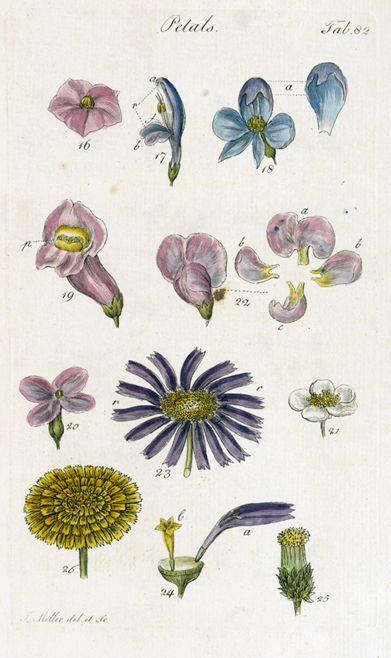 Illustrating different morphologies of flowers.