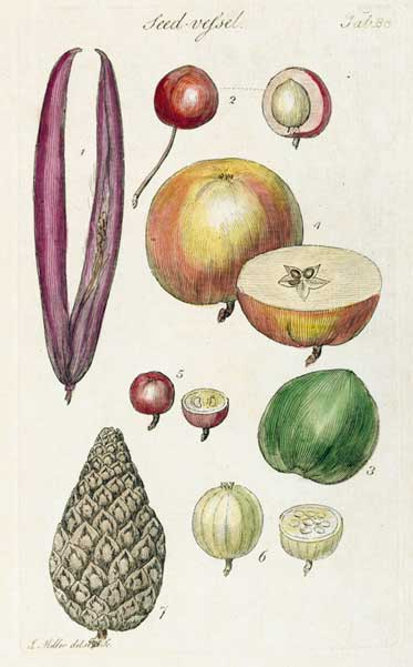 Illustrating different morphologies of fruits and cones.