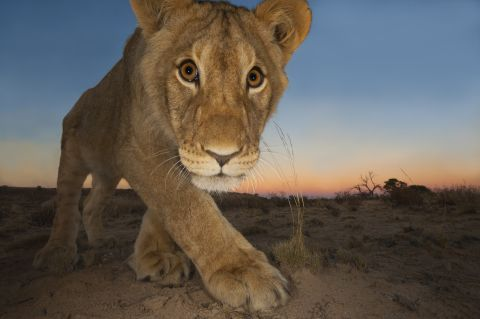a lioness looks down the lens of a camera - Wildlife Photographer of the Year