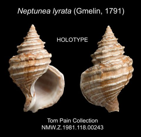 <em>Neptunea lyrata</em>, the oldest type specimen held at Amgueddfa Cymru, collected by Captain James Cook in 1778 from Alaska.