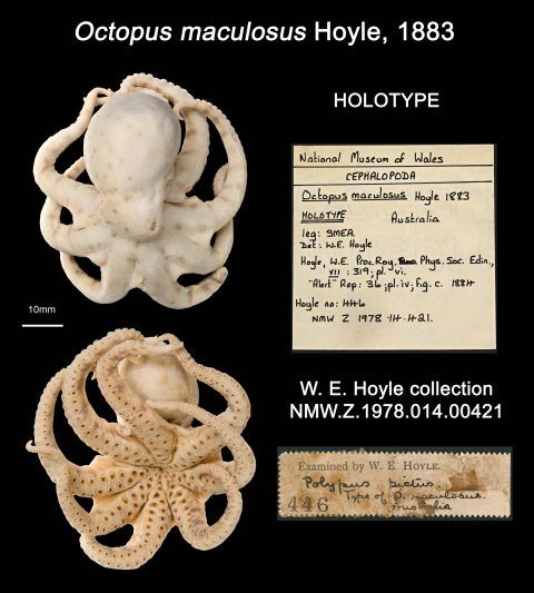 Specimen images and labels for the type of <em>Octopus maculosus</em> described by our first director, Williams Evans Hoyle, in 1883.