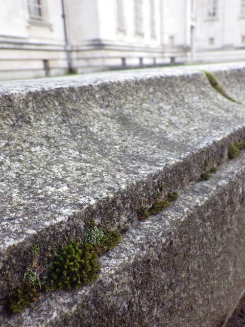 Mosses in their extreme environment on the wall surrounding National Museum Cardiff.