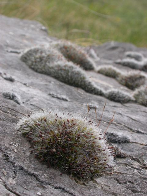 Grey-cushioned Grimmia moss (<em>Grimmia pulvinata</em>) with white hair points, seen here on a rock face on the Great Orme in North Wales. <em>© Kath Slade</em>