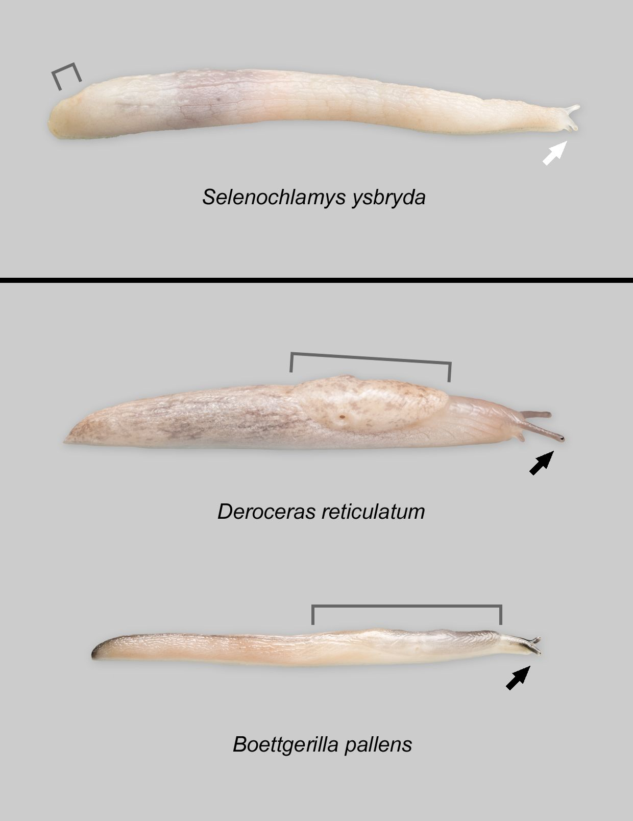 The Long Reach of the Ghost Slug | National Museum Wales