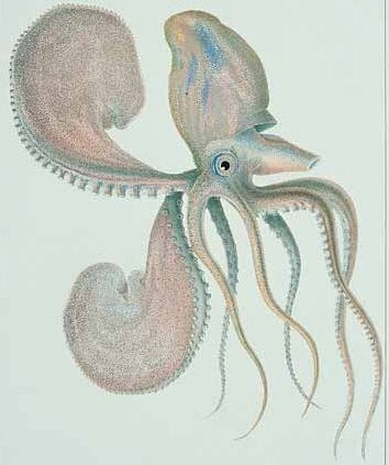 Original illustration of Paper Nautilus from which the model was made