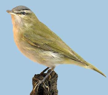 Red-eyed Vireo: a rare migrant from North America killed at Bardsey lighthouse