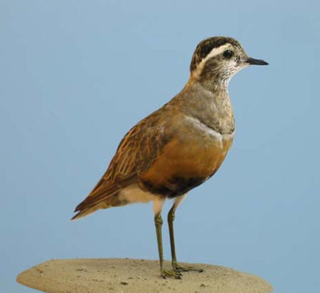 Dotterel: a scarce migrant in Wale, killed at Bardsey Lighthouse