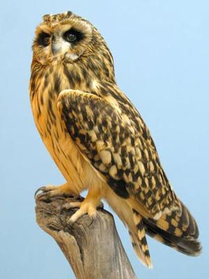 Short-eared Owl: a scarce breeding bird and winter visitor to Wales, killed by a car