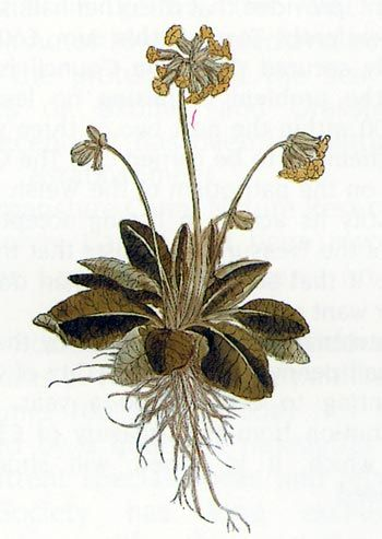 The cowsip as depicted in Fuchs's De Historia Stirpium
