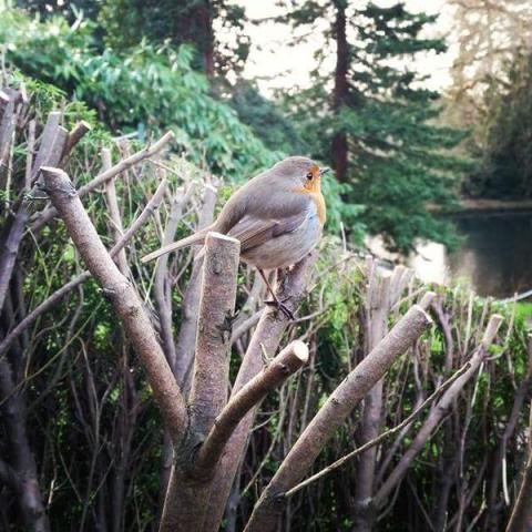 A Robin sitting on top of a hard pruned Yew hedge