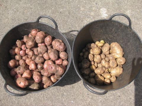 Heritage potatoes at St Fagans