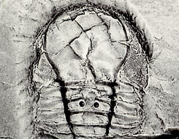 Pricyclopyge, a large-eyed pelagic trilobite