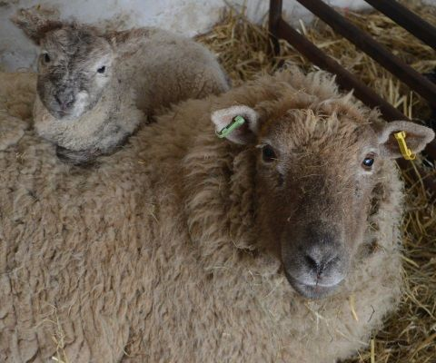 A picture of a ewe with her lamb