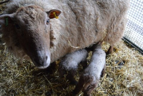 A picture of a ewe with twin lambs
