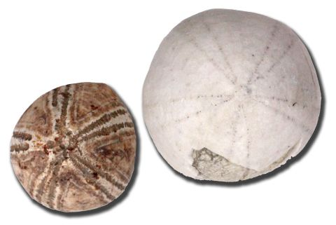 Two fossil sea urchins, brown on the left, white on the right